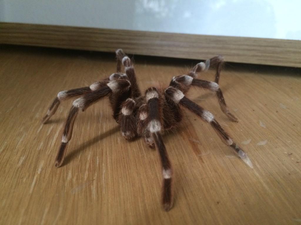 Możemy podziwiać kilka rodzajów pająków z Ameryki Południowej. Całe szczęście są zamknięte i oddzielone od nas szybą.