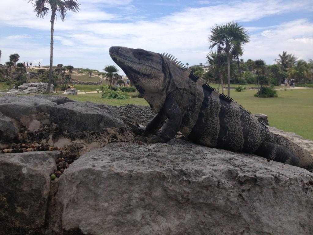 Ogromne iguany wylegujące się na słońcu
