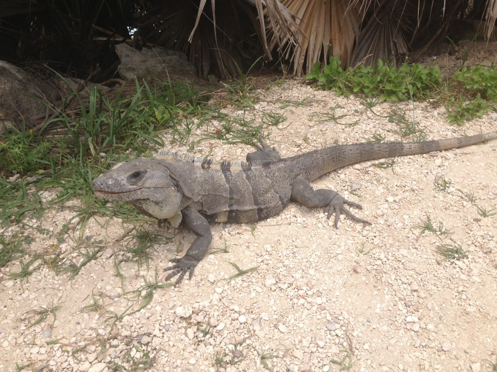 Iguany są bardzo oswojone, ale nie pozwalają się pogłaskać.