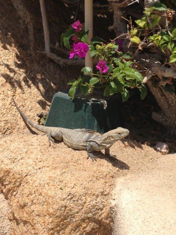 Meksykańskie iguany (jaszczurki) nie boją się turystów.