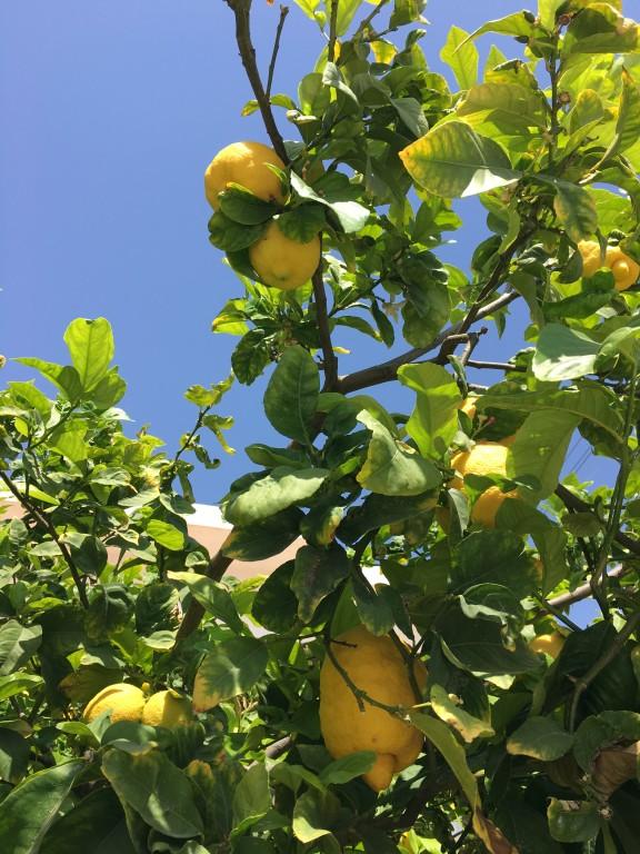 Cytryny prosto z drzewa to idealny sposób na zrobienie lemoniady i szybkie orzeźwienie.